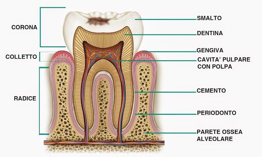 La struttura del dente sulla quale si va ad operare  con l'endodonzia